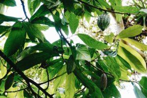 Cacao Plant, Chocolate, El Quetzal, Mindo, Ecuador