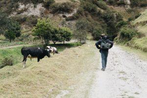 Hiking, cows, Quilotoa,Ecuador