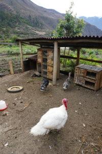 pachamanca lunch, Ollantaytambo, turkey, Urubamba Valley, Peru