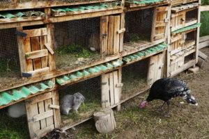 pachamanca lunch, Rabbits, Turkey, Urubamba Valley, Ollantaytambo, Peru