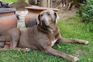 pachamanca lunch, local dog, Ollantaytambo, Urubamba Valley, Peru